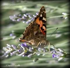 Flotando (marmimuralla) Tags: mariposa papallona volvoreta