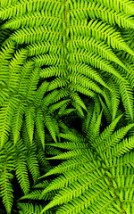Ferns (CJPhotography UK) Tags: nature natur natural plants plant fern ferns flora leaves leaf green plantlife unidentifiedplant light lighting dark black shadow shade telefoto canon closeup colours zoom view vertical stem macro macrophotography