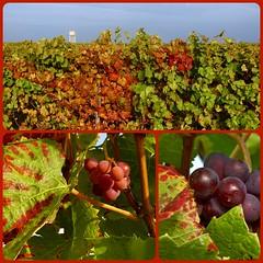 Herbststimmung in der Pfalz (mark@pfalz) Tags: markpfalz pfalz weinberg reben neustadt weinstrasse duttweiler trauben herbst