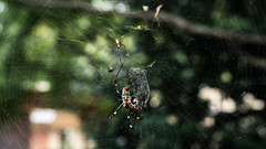 Catch a flyer (yodalica1) Tags: japan spiders spider nope web hunt