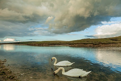 Swan Lake (S l a w e k) Tags: swans cuckmere haven east sussex england uk southdowns nationalpark river water dramatic stormy heavy skies clouds cloudscape landscape outdoors wildlife
