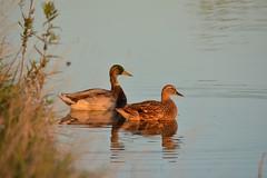 Sunset pair.. (Vishnukumar S) Tags: mallard mallards pair birds bird sunset beauty lake nature beautiful nikon d5200