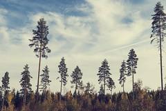 Hygge om hsten (Tove Paqualin) Tags: forest trees pines hygge skog skogen sverige sweden scandinavia nordic landscape nature autumn fall