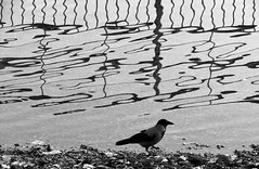 3462 Abstraction (Nebojsa Mladjenovic) Tags: mladjenovic canon bw blackandwhite monochrome animal bird water reflection