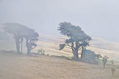 Mist and wind (Ian@NZFlickr) Tags: trees horses mist wind sculpted fractalius landscape otago peninsula dunedin nz