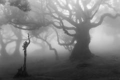 (RicardoPestana2012) Tags: fog mist trees fanal madeira madeiraisland bw pb mono monochrome forest