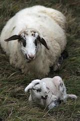Rassicurante (lincerosso) Tags: agnello pecora razzaalpagota alpago prealpivenete autunno bellezza armonia maternit