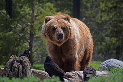 The Reverent (deanolind) Tags: elements bear grizzly brown anamal birds park forest green rocks