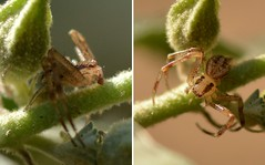 Really tiny Crab Spider (Thomisidae) (Treebeard) Tags: tiny crabspider mecaphesa thomisidae mallow malvaceae garden sanmarcospass santabarbaracounty california