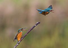 This is my perch! (Chris Bainbridge1) Tags: alcedoatthis territory dispute common kingfisher juvenile fighting quarrel