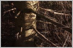 20161012. Vana-Vigala ohvrihiis. 1739 (Tiina Gill (busy)) Tags: estonia raplamaa vanavigala fall autumn outdoor nature tree fir