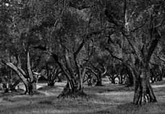 Coal Mtn Olive trees B&W (Greg Harder) Tags: 2016 1116 butte olive bw