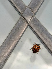 X marks the spots (Sharon B Mott) Tags: ladybird ladybug insect flyinginsect spots x wildlife nature sonyxperiaz5 october