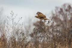 _DSC4987 (alan.forshee) Tags: bald eagle red tailed hawk raptor bird prey predator hunt fish fly soar flight feather sky