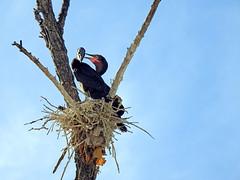 Neotropical Cormorants (aurospio) Tags: arizona chandlerarizona maricopa cormorant neotropicalcormorant neotropical bird nest nesting colony canal water