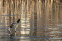 IMG_010761_k - Walking on ice (Monique van Gompel) Tags: coot walkingonice canon canoneos750d 750d nature natuur natuurfotografie naturephotography birds vogel watervogel waterbird ijs ice frozen vriezen animals animalia dieren meerkoet fulica fulicaatra freezing