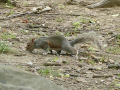 Central Parc - Manhattan - New York - tats-Unis (vanaspati1) Tags: central parc manhattan new york tatsunis vanaspati1 nature arbres tree vert green sciurus carolinensis sciuridae cureuil gris eastern gray squirrel