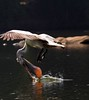 Pelican (RRJOIS) Tags: pelican rangantittu ranganthittubirdsanctuary birdphotogrpaphy mysore karnataka indianphotographers