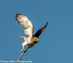 Hawk Watch (vernonbone) Tags: 2016 500mm autumn d3200 eastpoint eastpointpark hawk lens november ontario raptor birdraptor birds landscape nikon outside sigma street