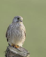Kestrel (skees499 ) Tags: torenvalk keesmolenaar nikon d500 noordwaard biesbosch nederland natuur nature birding birdofprey falcotinnunculus