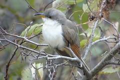 Yellow-billed Cuckoo (smkeereweer) Tags: yellowbilledcuckoo coccyzusamericanus novascotia canada