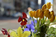 Life In The City (swong95765) Tags: flowers life city bokeh beauty tulips