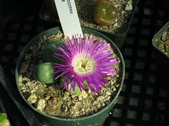 Argyroderma sp. (meizzwang) Tags: mesemb argyroderma blooming flower south africa succulent succulents