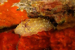 retiring to its nook (BarryFackler) Tags: halgerdaterramtuentis mollusc goldlacenudibranch nudibranch seaslug hterramtuentis marineinvertebrate benthic sponge lavatube invertebrate water westhawaii ecology ecosystem reef tropical undersea underwater island life bigisland diving dive diver organism ocean outdoor polynesia 2016 pacificocean pacific kona konadiving hawaii hawaiiisland hawaiicounty honaunau honaunaubay hawaiidiving hawaiianislands fauna southkona scuba sea coralreef seacreature sealife sealifecamera sandwichislands saltwater aquatic animal zoology coral creature barryfackler barronfackler bay biology being bigislanddiving nature marine marinelife marinebiology marineecosystem marineecology puka