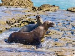 Seals in La Jolla ((Jessica)) Tags: wildlife beach water lajolla sandiego seal sunny california summer sand sealions sealion seals