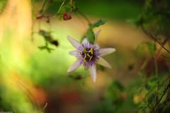 Milky Passiflora (_pkm_photography) Tags: pkmphotography2016 dslr nikon d700 nikond700 nikkor afsnikkor50mm114g sooc passiflora