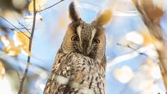 314.1 Ransuil-20161126-J1611-39656 (dirkvanmourik) Tags: asiootus birdofprey heemskerk longearedowl noordholland ransuil roofvogel vogelsvannederland bird