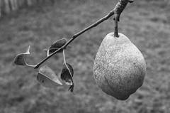 (laura_rivera) Tags: nikkormat laurarivera 35mmfilm tmax 400 kodak nikkormacrolens nikkor55mmmacro ft2 nikon film fall tree pear