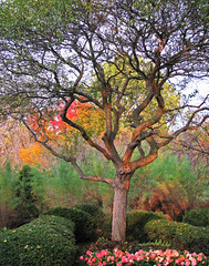 The Tree in Autumn (Cher12861 (Cheryl Kelly on ipernity)) Tags: cantignygardens wheatonillinois fall2014 oneofmyfavestophotograph sunset flowers fall autumn landscape branches brush ferns evergreens nature beauty