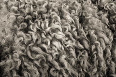 Shearing time (JaniceNZ) Tags: sheep wool sepia animals texture detail