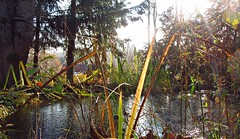 Winterteich (kadege59) Tags: winter ice pond wow wonderfulnature water canon garden explore20161120 explore flora