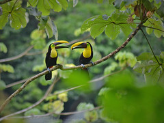 Ramphastos ambiguus (jorgegamboa105) Tags: costa rica aves puravida tucn avesdecostarica birds nature toucan