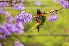 Ey! Are you taking photo of me?? (MIP102) Tags: mip camellia photography photographer photo nature birds lorikeet jacaranda lovenature beautiful green purple skywalker sydney