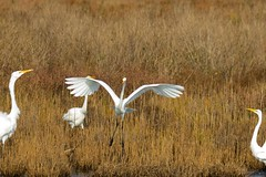 7K8A3917 (rpealit) Tags: scenery wildlife nature chincoteaque national refuge great egrets bird egret