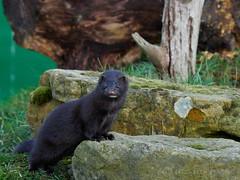 Mink (lizziebea2012) Tags: places uk kent britishwildlifecentre animals mink