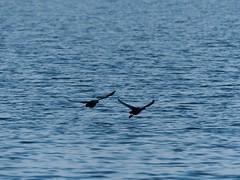 Coots (Fulica atra, オオバン) (Greg Peterson in Japan) Tags: shigaprefecture japan jpn moriyama shiga fall rivers wildlife yasugawa birds season coots