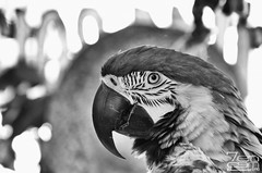 Buddy! (SGR Photo) Tags: blackandwhite bw usa bird nikon downtown texas tour huntsville places historic photowalk macaw 2012 blueandyellow blueandyellowmacaw tropicalbird d7000 nikond7000 silverefexpro2