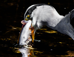 Friday 13th - part 2 (Steve-h) Tags: ireland dublin orange fish black reflection bird eye heron nature water yellow river grey suburban failure beak feathers handheld suburbs trout superstition failed fridaythe13th struggle unfortunate unlucky enormous toobig dodder steveh canonef100400mmf4556lisusm specanimal greatgreyheron riverdodder canoneos5dmkii canoneos5dmk2 birdperfect