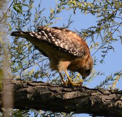 Red Shouldered Hawk (lanaganpm) Tags: