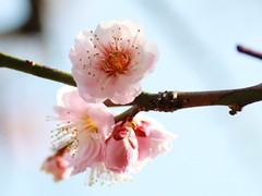 Red plum blossoms ( (Kiccororin) Tags: flower canon garden tokyo plum   tamron ume  plumblossoms  shinjukugyoennationalgarden redplumblossoms