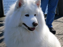 Bear the Samoyed (Explored) (TC Angel) Tags: dog white water image samoyed michigan photograph traversecity whitedog explored canonpowershots100 theinspirationgroup