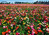 Colorful Flower Fields of Carlsbad (TheJudge310) Tags: california ca flowers usa field unitedstates farm april carlsbad 2012 canonpowershota3300is
