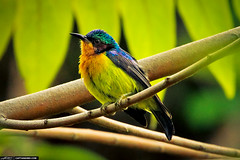 Small Tropical Bird from Phuket Thailand (Captain Kimo) Tags: bird thailand phuket warbler tropicalbird photomatixpro singleexposurehdr psuedohdr topazplugins captainkimo