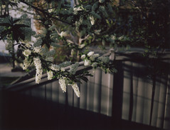 (intransit) Tags: camera canada calgary film polaroid spring fuji blossoms alberta land instant 103