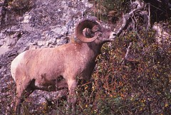 IMG_0001 (Rock Rabbit Photo) Tags: scans sheep horns bighorn rams slides
