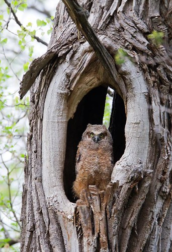Great Horned Owlet_Q4G9705
